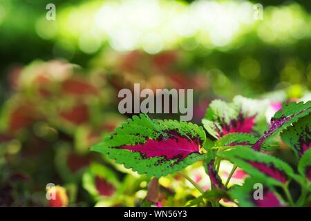 Close-up Of Coleus Leaves - Stock Photo