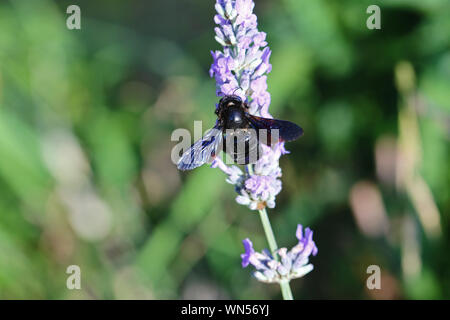 Carpenter bee Latin name xylocopa violacea feeding on a lavender or lavandula bush in summer in Italy - Stock Photo