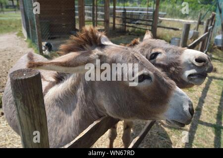 Close-up Portrait Of Donkeys - Stock Photo
