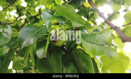 Low Angle View Of Unripe Pear Growing On Tree - Stock Photo