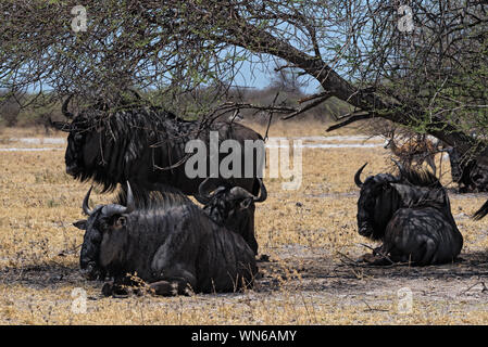 gnus in the shade of an acacia tree in Nxai Pan National Park in Botswana - Stock Photo