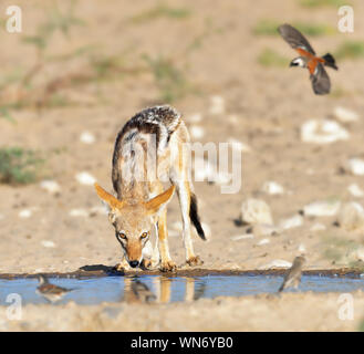 Black-back Jackal quenching its thirst at a watering hole with birds flying in to drink. Canis mesomelas - Stock Photo