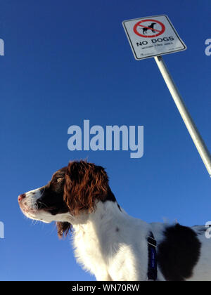 Low Angle View Of Dog Standing By Warning Sign Against Clear Blue Sky - Stock Photo