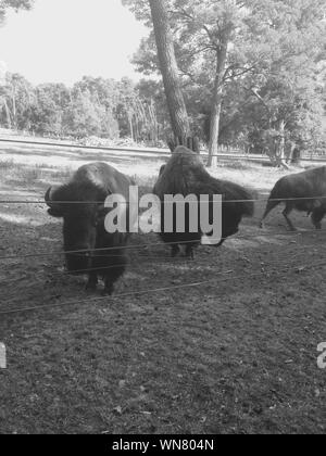 American Bison On Field - Stock Photo