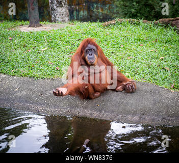 Orangutan, Borneo, Indonesia. Native to Indonesia, Malaysia, they are found in only the rain forests of Borneo and Sumatra. - Stock Photo