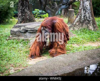 Orangutans or Pongo Pygmaeus is the only asian great found on the island of Borneo and Sumatra. - Stock Photo