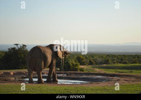 African Elephant In Pond At Addo Elephant National Park - Stock Photo