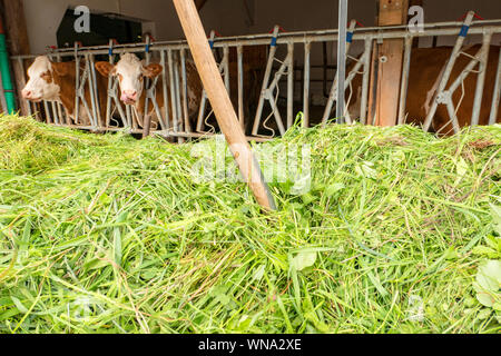 Dung fork in a mountain of freshly cut grass in front of a cowshed - Stock Photo