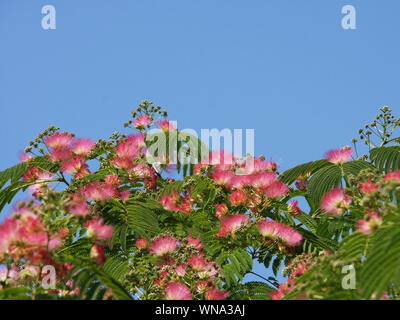 Pink flowers of albizia julibrissin (Persian silk tree) and green leaves towards blue sky on a sunny day - Stock Photo