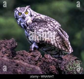 Great Horned Owl (Bubo virginianus).Photographed at a bird of prey flying exhibition.Southwest France. - Stock Photo
