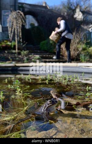 Common frog (Rana temporaria) and frogspawn in a garden pond with householder walking past in the background, Wiltshire, UK, February. Model released. - Stock Photo