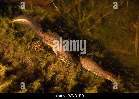 Great crested newt (Triturus cristatus) male courting a female by arching his back and waving his tail in a garden pond at night, near Wells, Somerset - Stock Photo