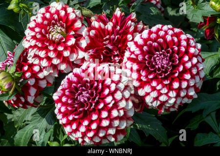 Dahlia flower, Red Dahlias, Dahlia 'Checkers' - Stock Photo