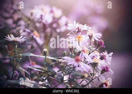 Pink delicate Aster flowers bloom and grow lush Bush, illuminated by light. Some flowers are already fading. - Stock Photo
