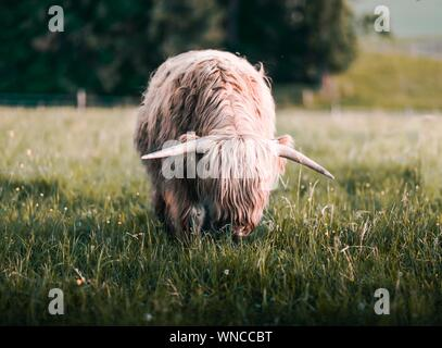Highland Cattle Grazing On Field - Stock Photo
