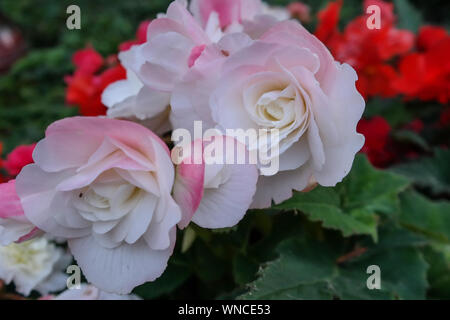 Garden rose close up, white and pink color flower in focus with green leaves - Stock Photo