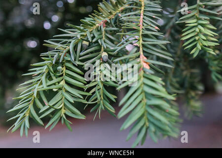 taxus brevifolia, pacific yew, western yew, pine tree foliage, and fruit close up - Stock Photo