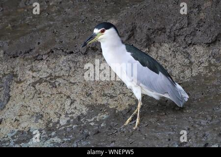 Close-up Of Black-crowned Night Heron Perching In Mud - Stock Photo