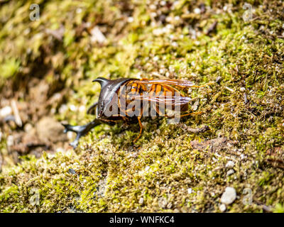 A Japanese yellow hornet, Vespa simillima xanthoptera, eating the remains of a dead Japanese rhinoceros beetle, Allomyrina dichotoma, in a park in Sas - Stock Photo