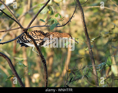 Closeup of juvenile Rufescent Tiger-Heron ( Tigrisoma lineatum) perching on branch near Soberania National Park,Panama - Stock Photo