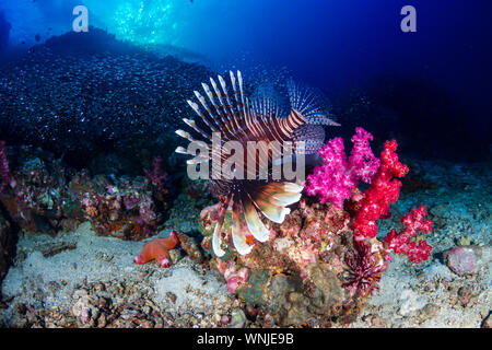Colorful Common Lionfish patrolling a dark coral reef at dawn - Stock Photo