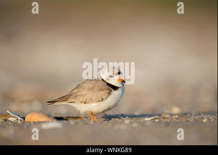Adult Piping Plover standing on a sandy beach with a large shell in the bright sunlight.