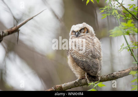 A sleeping Great-horned Owlet rests on a branch in the forest in soft overcast light. - Stock Photo