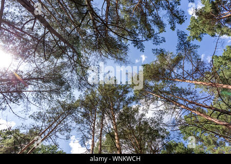 Wide angle shot of trees growing in the sky. tall pine forest - Stock Photo