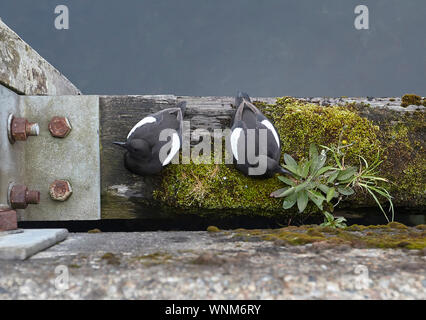 Pair of Black Guillemots, Cepphus grylle on harbour wall wooden beam, Oban, Scotland, UK - Stock Photo