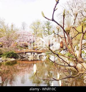 White Magnolia Flowers On Branch With Bridge In Background In Park - Stock Photo