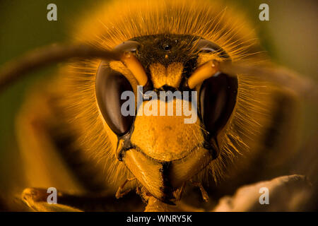 Focus stacked portrait of a common wasp, Vespula Vulgaris
