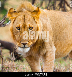 A young male lion peers furtively into the camera in the Maasai Mara, Kenya - Stock Photo