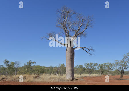 Boab tree growing in Kimberly Region outback of Western Australia . - Stock Photo