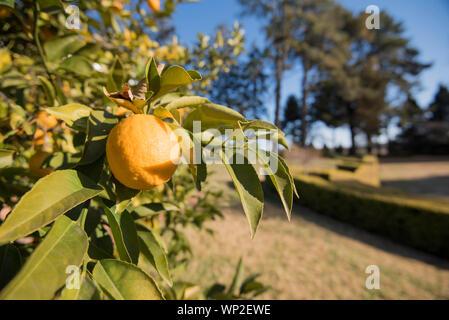 A lemon tree with ripe Eureka (Citrus Limon) lemons in a bright sunlit yard of an Australian country home - Stock Photo