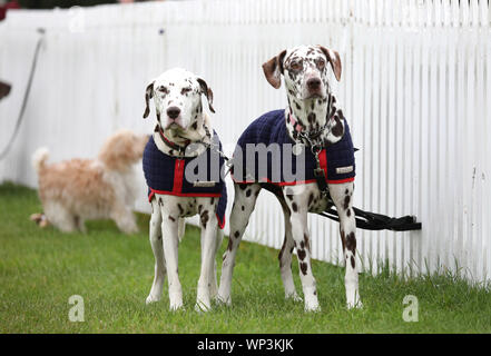 Stamford, Lincolnshire, UK. 06th Sep, 2019. Two dogs wait for their owners at The Land Rover Burghley Horse Trials, Stamford, Lincolnshire, on September 6, 2019. Credit: Paul Marriott/Alamy Live News - Stock Photo