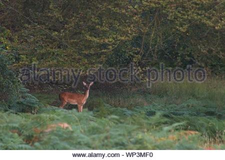 Juvenile Fallow dear in Epping Forest - Stock Photo
