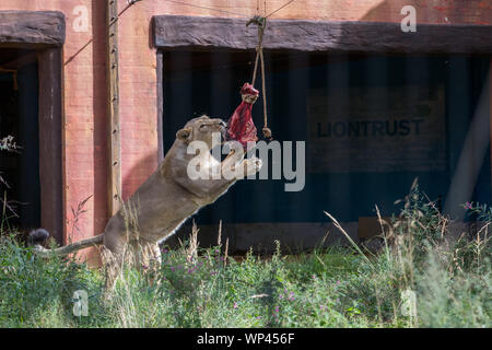 ZSL London Zoo's Asiatic lions given giant 'seesaw' to celebrate World Lion Day 2019 Featuring: Lions Where: London, United Kingdom When: 07 Aug 2019 Credit: Phil Lewis/WENN.com - Stock Photo