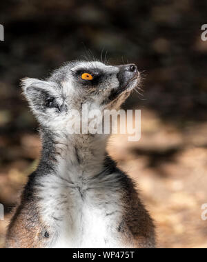 Sunbathing Ring-tailed lemur, Lemur catta, warming up in the morning in Isalo National Park, in the highlands of Madagascar in July.  Striking golden - Stock Photo