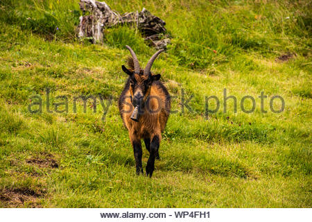 goats graze in the meadows of south Tyrol - Stock Photo