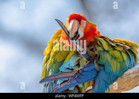 Scarlet macaw parrot perching on branch and holding feather in beak.Blurred blue sky in background.Beautiful , large and colourful exotic bird.Wildlif - Stock Photo