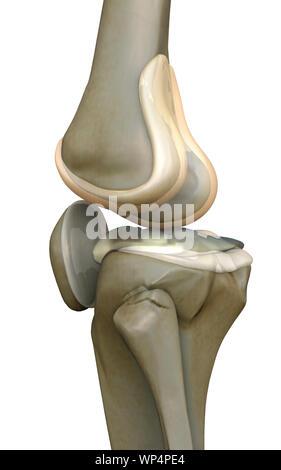 knee, bone, human knee, - Stock Photo