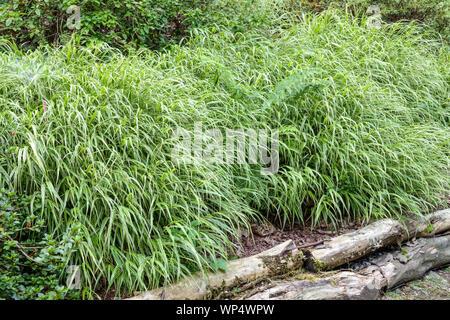 Garden border, Hakone grass,Japanese Forest Grass Hakonechloa macra 'Albovariegata' - Stock Photo