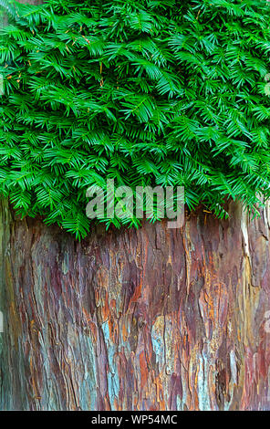 bark and green branches of a dawn redwood tree - Stock Photo