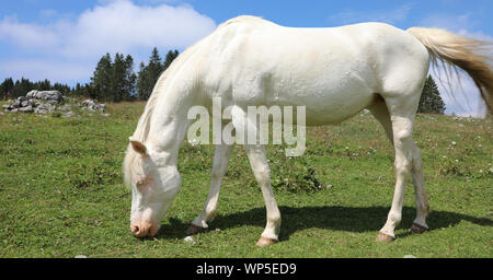 white albino young horse while grazing in mountain in summer - Stock Photo