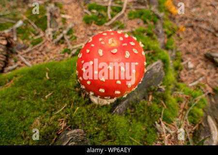 round fly agaric on moss from above - Stock Photo