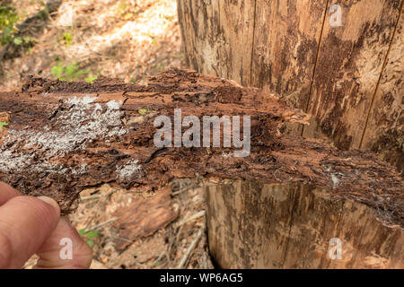 Tree without bark with the corridors of the bark beetle - Stock Photo