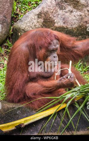 Close up of strong and big Malaysian Borneo Orangutan (orang-utan) in natural environment. Orangutans are among the most intelligent primates. - Stock Photo