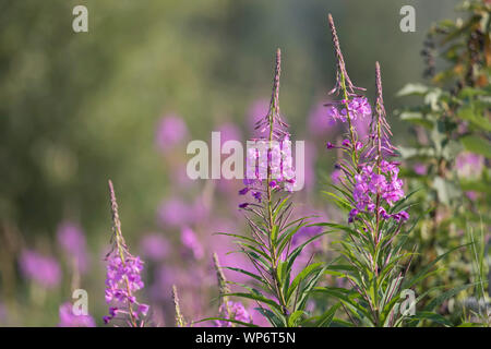 A Field of Fireweed in Alaska - Stock Photo