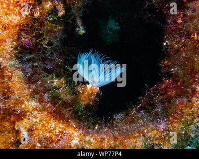 Spiral Tubeworm (Spirographis spallanzani) - Stock Photo