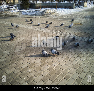 A pigeon flock basks in the winter sun of a city park. Snow, sun, blue sky. - Stock Photo